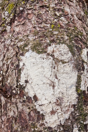 White heart shape on bark old tree photo