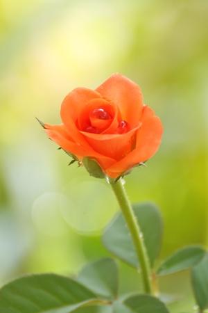 belle rose avec goutte d'eau sur fond vert tendre