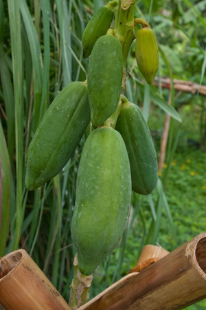 Papayas hanging from the tree   photo