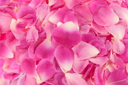 background of pink rose petal...DOF   Stock Photo