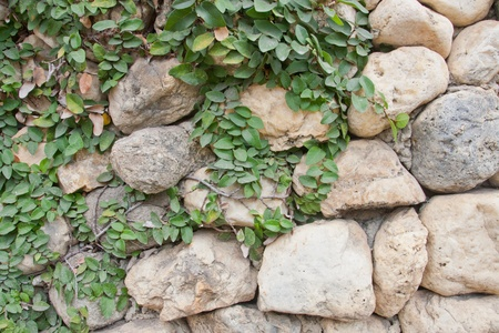 the Green Creeper Plant on the stone wall for background. photo