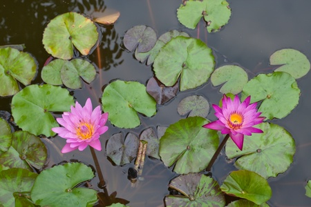 pink water lilly on water background with leaves.  photo