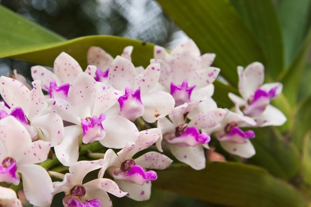 pink Rhynchostylis gigantea  Stock Photo - 11801018