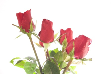 valentine Red Roses Bouquet isolated photo