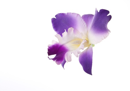 blosom: Cattleya Orchid creatived isolated