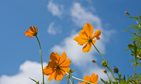 Set of  cosmos flower against blue sky Stock Photo - 11873437