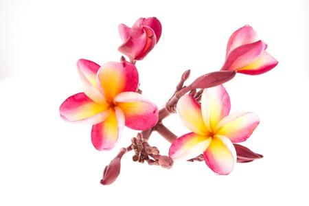 Frangipani rose, Plumeria ... tropicale de fleurs, isol� Banque d'images