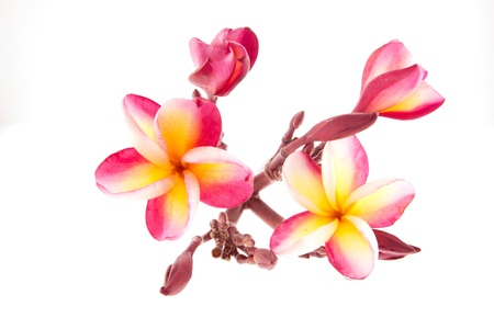 pink Frangipani, Plumeria...tropical flower,isolated