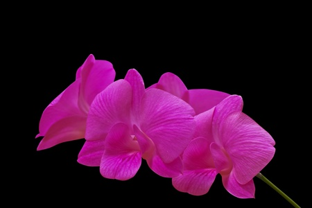 Pink orchid isolated on black background Stock Photo - 12298680