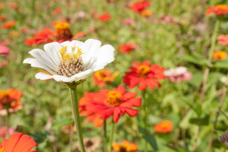 colorful zinnia flower field Stock Photo - 12300004
