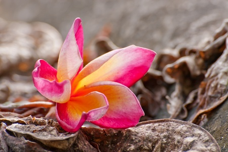 frangipani, Plumeria...tropical flower on dry leaves Stock Photo
