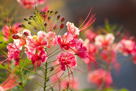 fabales: Gulmohar,The flame tree  flowers Stock Photo