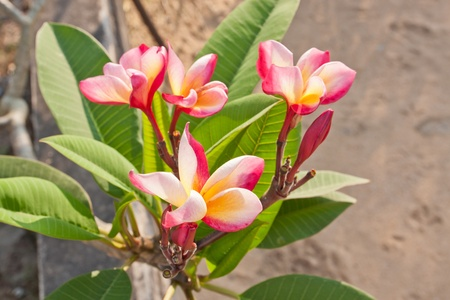 pink Frangipani, Plumeria   tropical flower against blue sky Stock Photo - 12657352