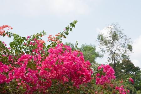 bougainvillea flowers: Bush of Bougainvillea flowers