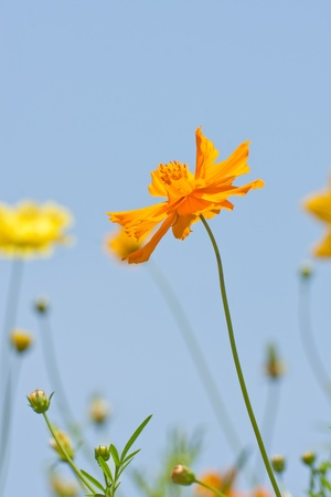 set of cosmos flower against blue sky photo