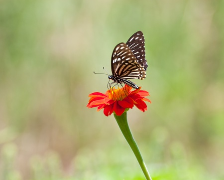 black butterfly on red Zinnia flower photo