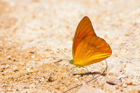 Single pieridae butterfly  gathering water on floor in Thailand photo