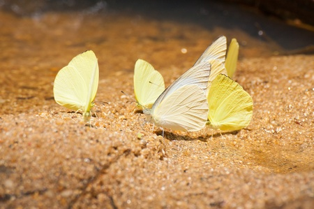 pieridae: group of pieridae butterfly  gathering water on floor in Thailand