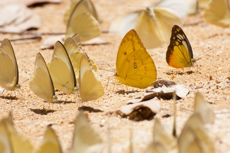 group of pieridae butterfly  gathering water on floor in Thailand Stock Photo - 13357924