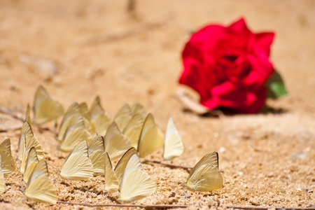 red rose and group of pieridae butterfly  gathering water on floor in Thailand Stock Photo - 13357910