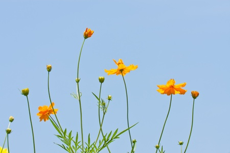 set of cosmos flower against blue sky photo