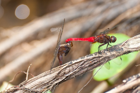 sympetrum: mating Moustached Darters  Sympetrum vulgatum  in jungle