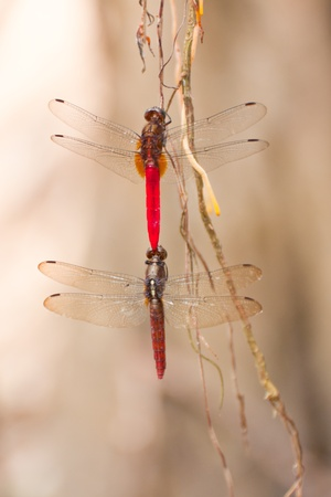 mating Moustached Darters  Sympetrum vulgatum  in jungle photo