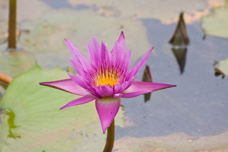 pink lotus  or water lily flowers blooming on pond Stock Photo - 13911724
