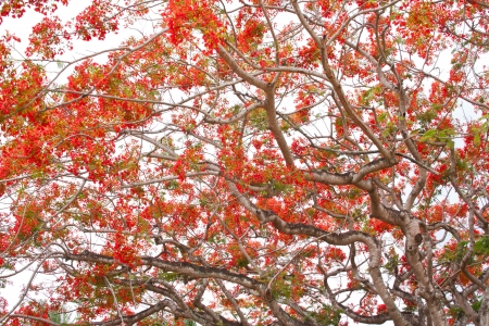 fabales: Spring Flower  Delonix regia  Flame Tree