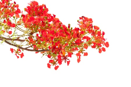 fabales: spring Flower  Delonix regia  Flame Tree  isolated on white