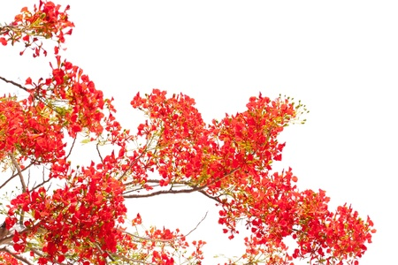 flame like: spring Flower  Delonix regia  Flame Tree  isolated on white