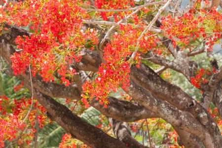 flame like: Spring Flower  Delonix regia  Flame Tree