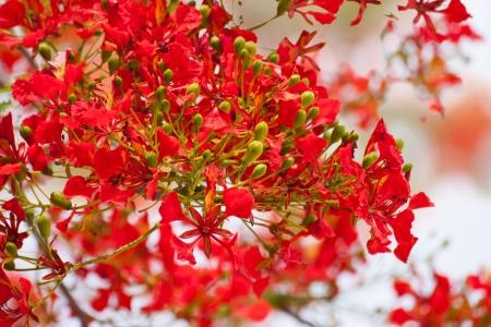 fabales: spring Flower  Delonix regia  Flame Tree