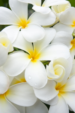 close up white and yellow frangipani flowers or tropical flower with leaves in background photo