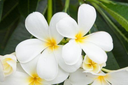 white and yellow frangipani flowers or tropical flower with leaves in background photo