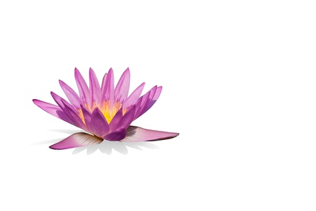 Pink water lily on the white background Stock Photo - 14888968