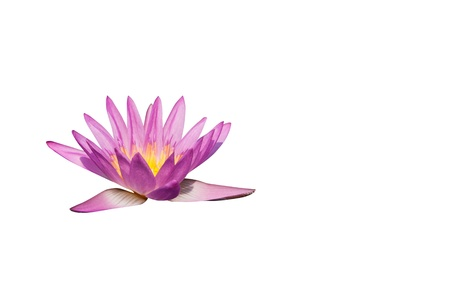 Pink water lily on the white background photo