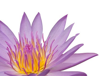 Pink water lily on the white background Stock Photo - 14888970