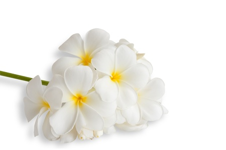 Branch of Frangipani Plumeria Spa Flower isolated on white  photo