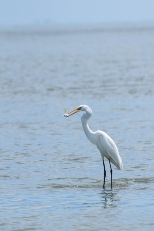 snowy egret, egretta thula while eating fish at Thai gulf photo