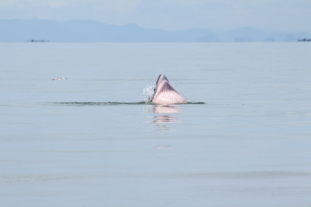 Balaenoptera physalus,Brydes Whale behavior eating fish in the sea of Thailand photo
