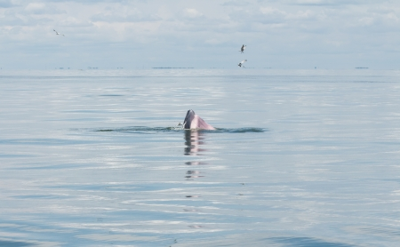 grampus: Balaenoptera physalus,Brydes Whale behavior eating fish in the sea of Thailand