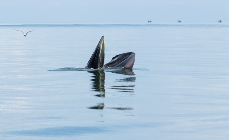 breaching: Balaenoptera physalus,Brydes Whale behavior eating fish in the sea of Thailand
