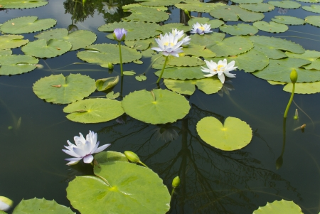 Blue,purple lotus  In ponds with  leaf green. Stock Photo - 15475161