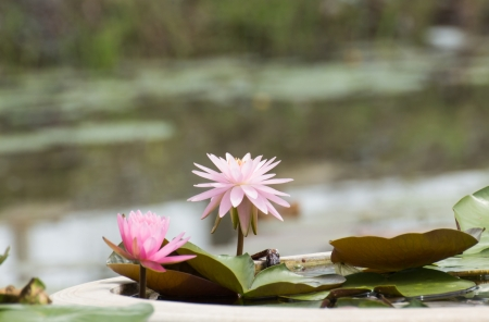 pink lotus blossoms or water lily flowers blooming on pond Stock Photo - 15474822