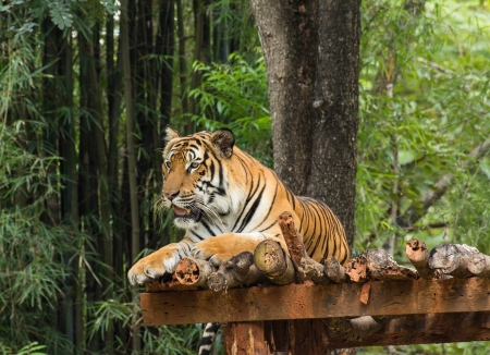 Tiger relaxing action in nature photo