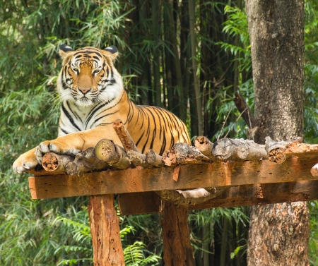 Tiger relaxing action in nature Stock Photo - 15475570