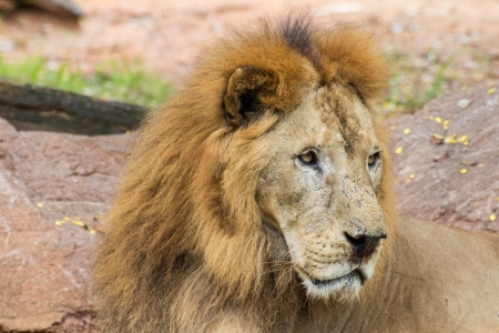 Close up African lion staring in nature photo