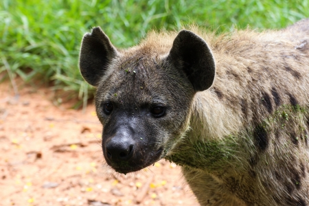 scavenge: Spotted Hyena in nature