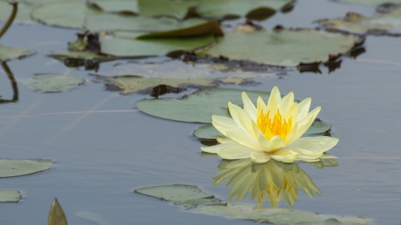 Yellow lotus blossoms or water lily flowers blooming on pond photo